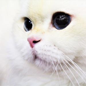 ブリティッシュ 白い毛色が美しい シュクルドアップ写真