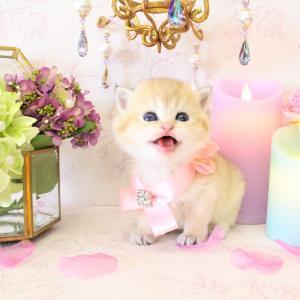ブリティッシュゴールド 黄金猫