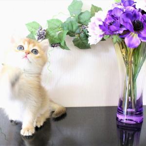 ブリティッシュゴールド子猫2匹限定ご予約開始