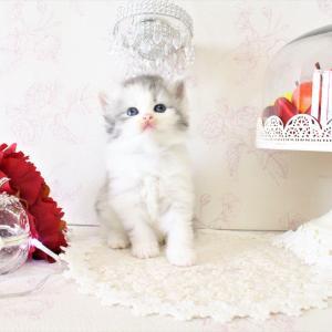 ラガマフィン 美猫ちゃん