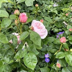 薔薇の季節がやってきた
