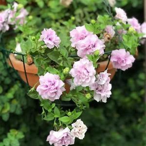 ピンク系のお花&Zooちゃんのマイボーム腺炎