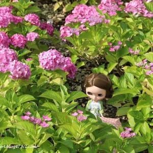 紫陽花と花音ちゃん、再び。