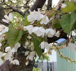 レイキャビクの住宅街に愛らしい花の大木が!桜?りんご?さくらんぼう?
