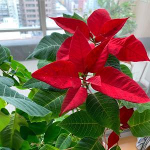 ゴルサバ女王からの、クリスマスプレゼント!!