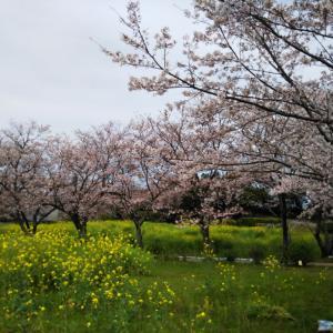 水俣の桜2020