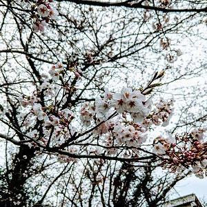 桜が咲き~花冷えの糸島です。