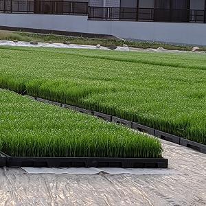 青々とした稲 田植え準備