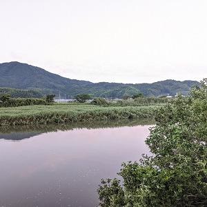 泉川のハマボウが咲き始めました。