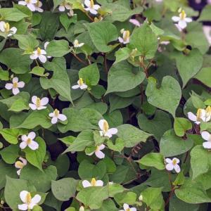 庭のドクダミの花