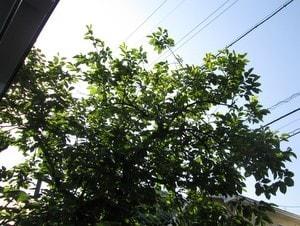 庭木の剪定ー柿