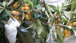 枇杷の収穫―③