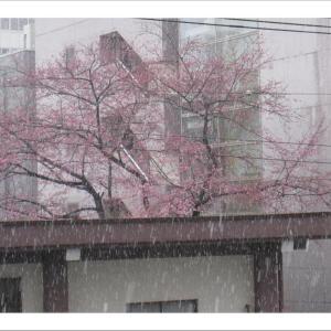 やっと咲き始めた桜に無情の雪です