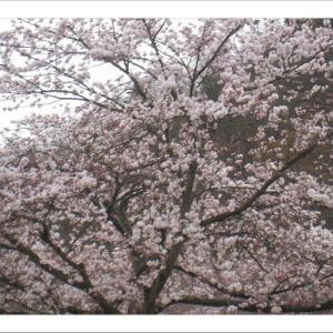桜花らんまんの良い季節になります