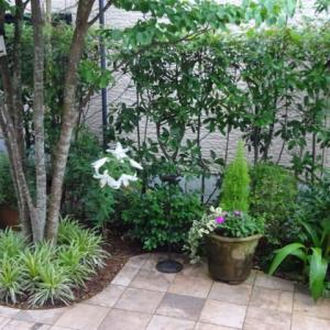庭のカサブランカ