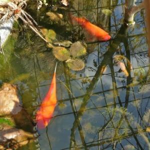 金魚の越冬