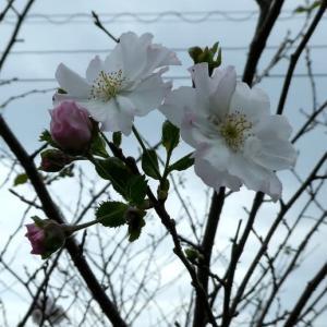 真夏の今、桜が咲きました