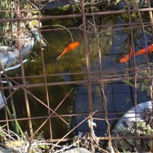 7冬目の金魚