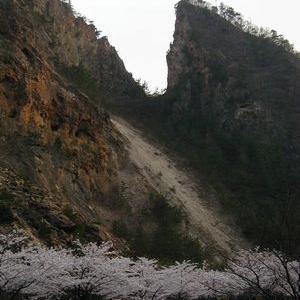 佐渡に桜が咲いたなら・・・!!!