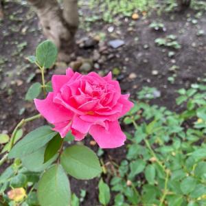 「雨ニモ負ケズ」薔薇が咲きました。