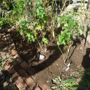 4本植えました パパメイアン オクラホマ ピンクアイスバーグ