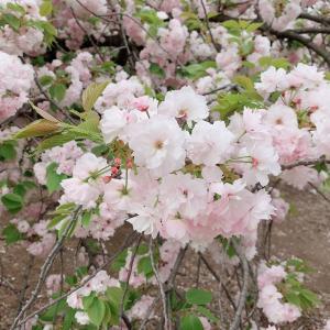 桜〜撮影 今日で締切