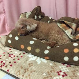 犬の膵炎記〜13歳のサランが突如膵炎に!
