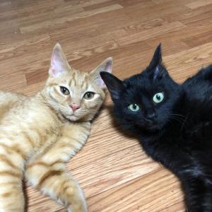 黒猫&茶トラ子猫兄弟の里親募集 函館 【拡散希望】