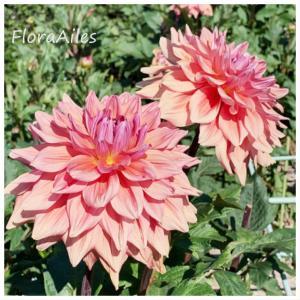 ◆暑さに負けないお花達を観てきました♪ダリア編