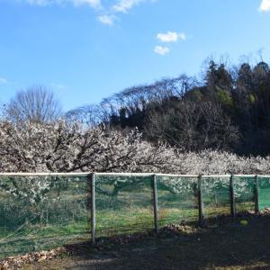 梅の花を見ながらドッグラン