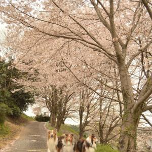 ご近所お花見散歩