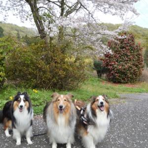 今日のお花見散歩