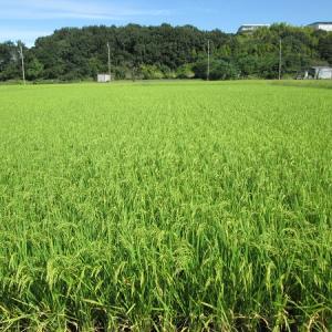 収穫まで丁度1ヵ月   2020-09-18