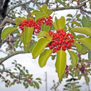 冬赤い実がなる木