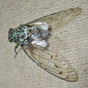 セミヤドリガ(幼虫)