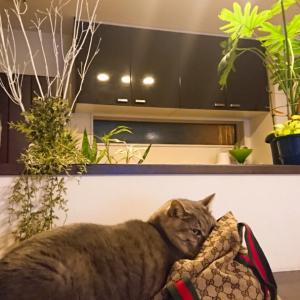 バッグ好きなネコ