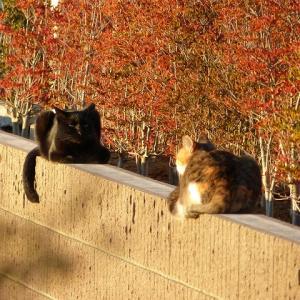 わしら、若おっさんと若おばさん猫です 秋の夕日に・・・
