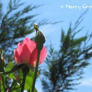今年もバラが咲きました♡ェ・=)ノェ・∪ノ