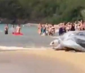 【悲報】アメリカのビーチに現れたカメさんの大きさwwwwwwwwwwwwwwwwwwwwww