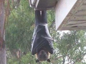 【画像】このコウモリでか過ぎワロ太WINWINWINWINWINWINWINWINWINWINWINWINWINWINWIN