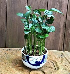 みかん盆栽
