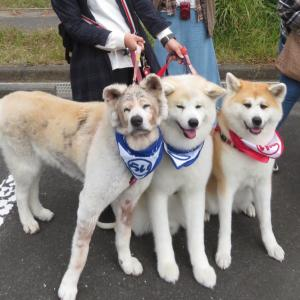 秋田犬まみれ☆