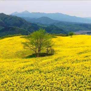 三ノ倉高原の菜の花