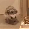 【癒し画像&動画集1】ハリネズミの横寝。ちょこちょこ歩くハリネズミ。