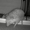 【脱糞もこ動画】ハリネズミに尻尾が2本あると思ったらウンチだった件。