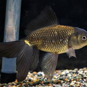 新入り金魚 四つ尾ブリストルもどき