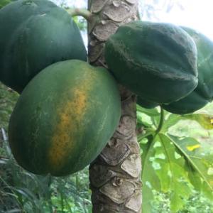 台風で倒れる前に収穫剪定しました/台風対策/野菜確保/青パパイヤ