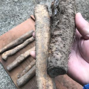 自然薯栽培に挑戦 /ヤマノイモ