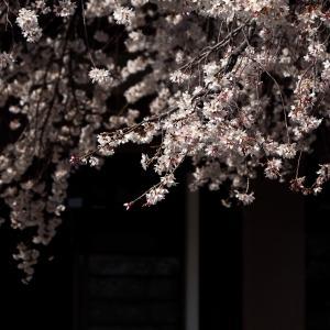 香積院の枝垂れ桜 vol.08