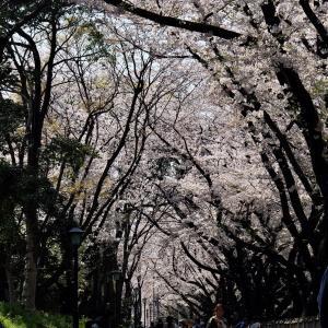 名古屋城 お堀のソメイヨシノvol.01